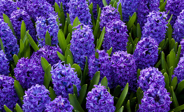 blue-hyacinths-871298039971s7I.jpg