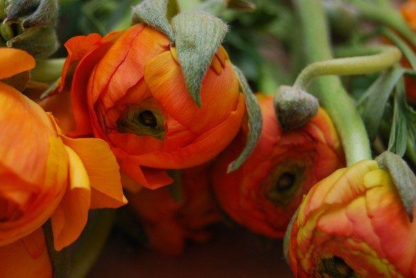 Сезонность ранункулюсов и их особенности