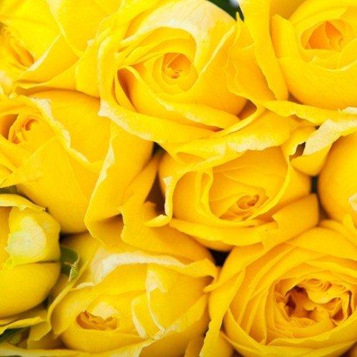 "Душистая роза ""Николя Уло (Nicolas Hulot)"""