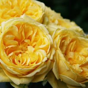 "Душистая роза ""Каталина (Catalina)"""