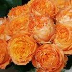 Орандж Романтика (Orange Romantica)