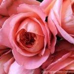 Роза Рене Госсини (Rene Goscinny)