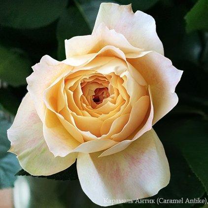 Роза Карамель Антик (Caramel Antike)