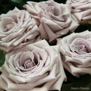 Роза Мента (Menta)