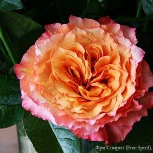 Роза Фри Спирит (Free Spirit)
