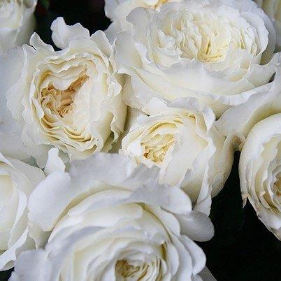 Роза Дэвида Остина Patience (Пейшнс)