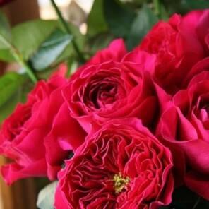 Роза Дэвид Остин Дарси Бассел