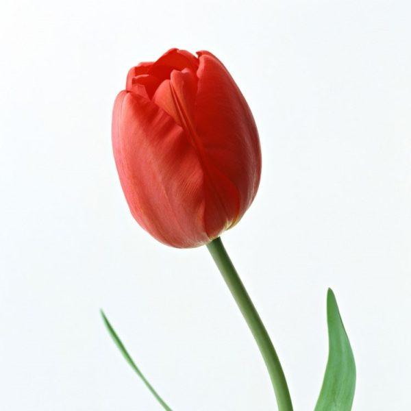 Тюльпан поштучно