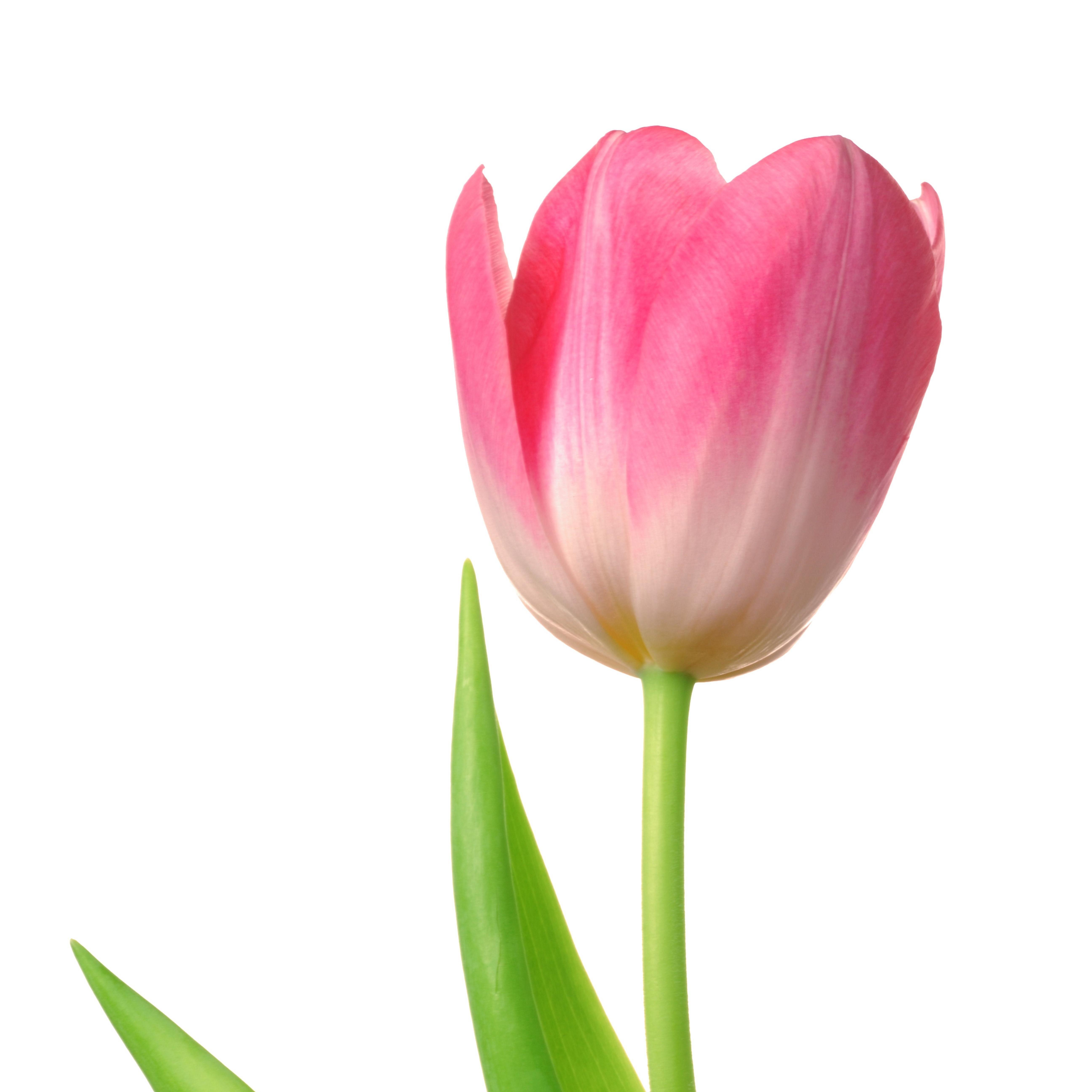 Картинка тюльпаны для детей на белом фоне