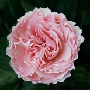 Майра роуз