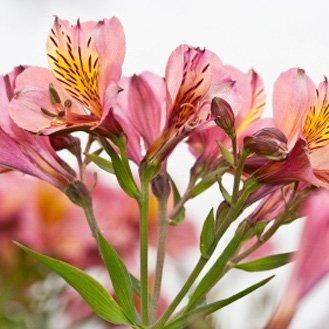 Альстромерии поштучно розовые