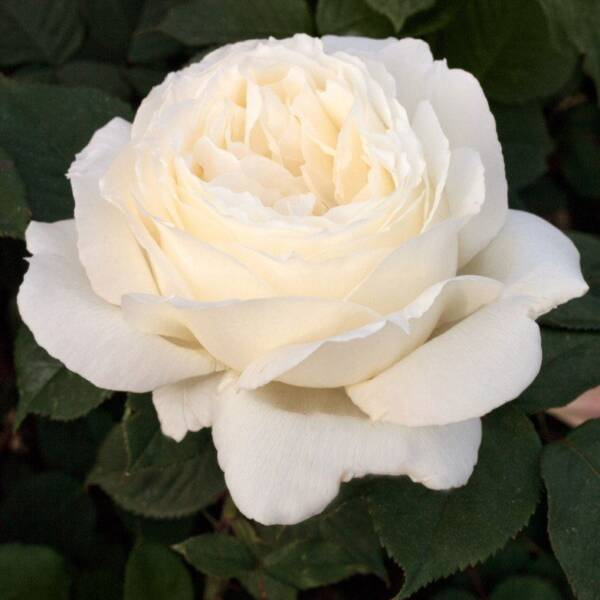 "Пионовидные розы ""Жанна Моро"""