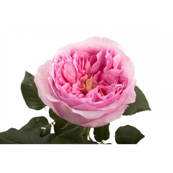 Роза Дэвида Остина Кэри (Carey)